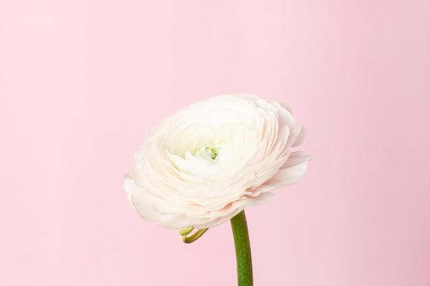 Flor de ranúnculo branco padrão em rosa pastel Foto Premium