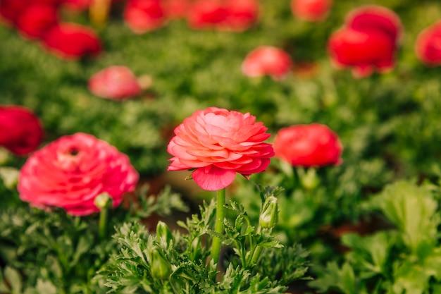 Flor de ranúnculo vermelho florescendo no jardim Foto gratuita