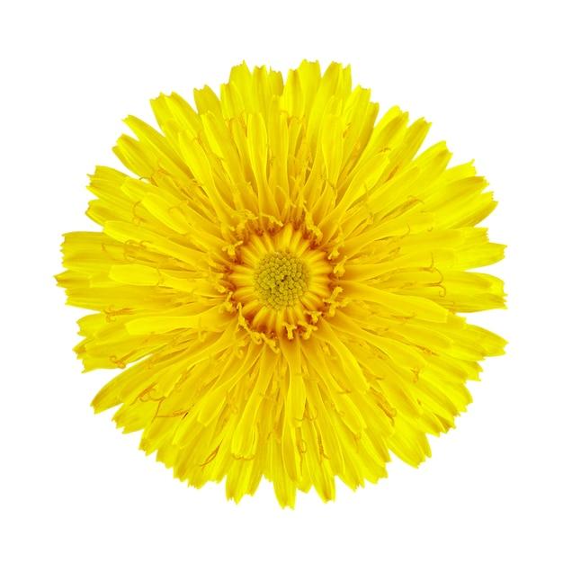 Flor dente de leão em branco Foto Premium