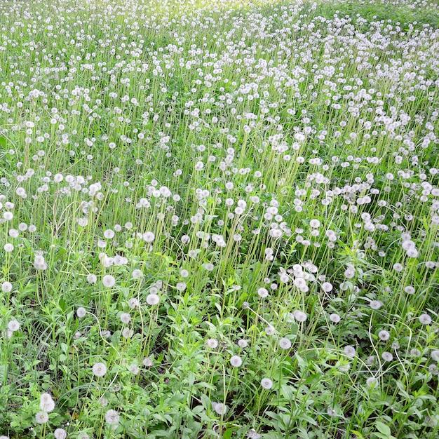 Flor dente de leão fofo branco em campo verde Foto Premium