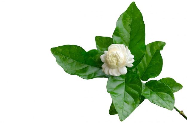 Flor do jasmim de tailândia com suas folhas no branco. Foto Premium