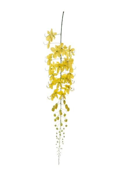 Flor dourada do chuveiro, isolado da fístula da cássia no branco. flor amarela. Foto Premium