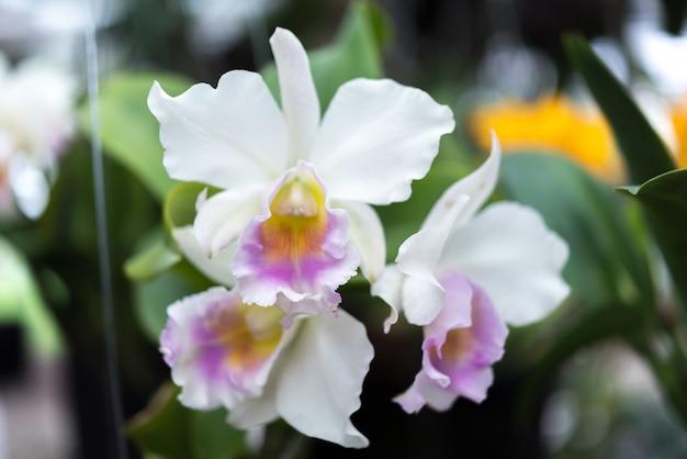 Flor (orchidaceae, flor de orquídea) branco roxo Foto Premium