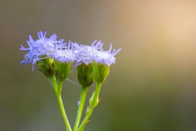 Flor pequena ironweed com sol da manhã na floresta Foto Premium