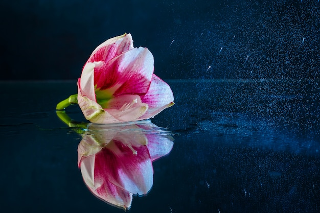 Flor rosa com água cai sobre fundo azul escuro. Foto gratuita