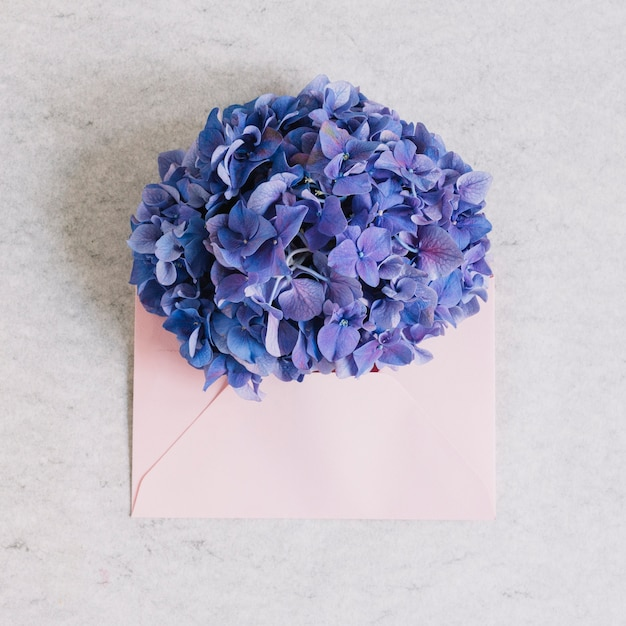 Flor roxa da hortênsia no envelope cor-de-rosa contra o contexto áspero Foto gratuita
