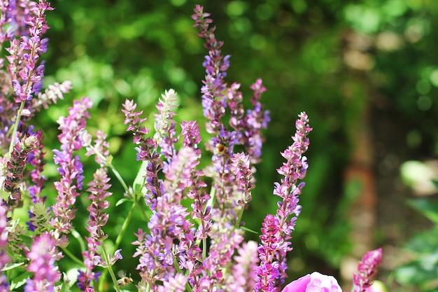 Flor roxa de salgueiro-erva no jardim Foto Premium