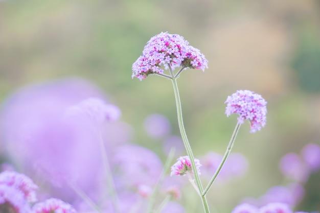 Flor roxa de verbina no jardim Foto Premium