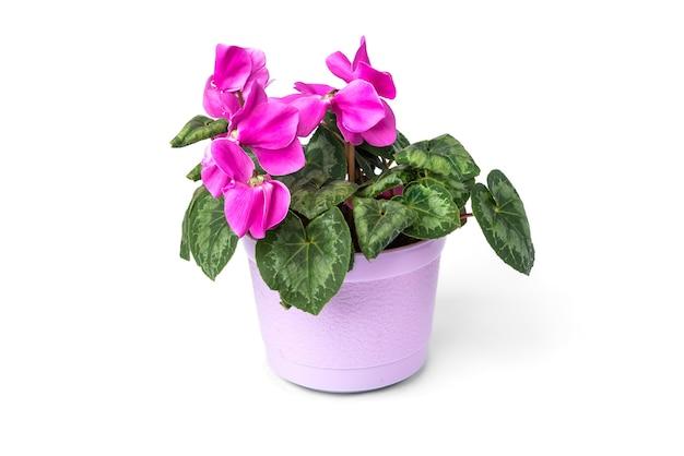 Flor roxa do ciclame isolada no fundo branco. Foto Premium
