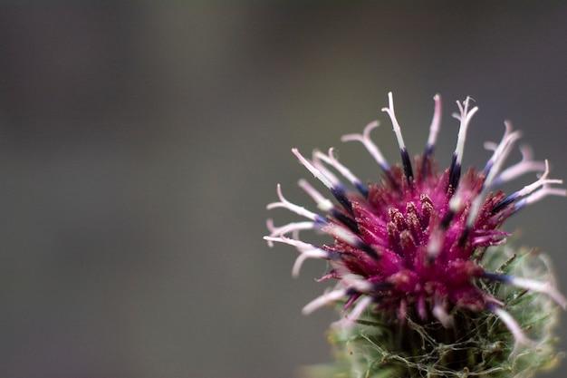 Flor roxa espinhosa da bardana. bardana de planta medicinal florescendo Foto Premium
