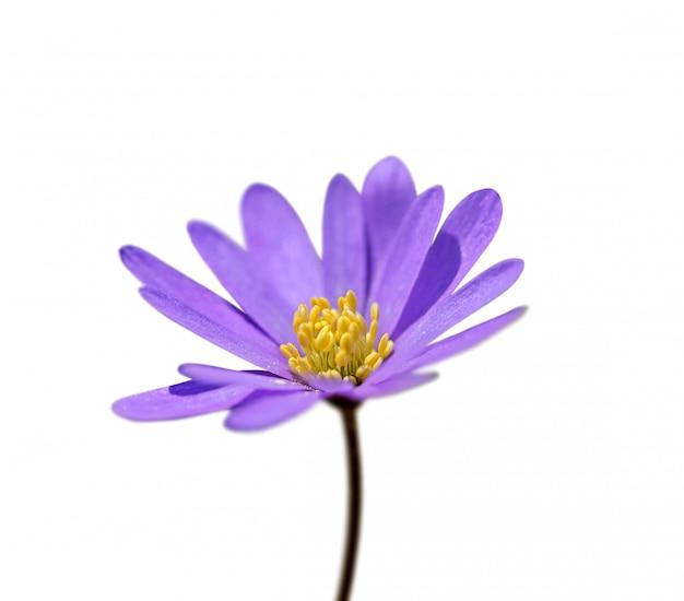Flor roxa isolado no fundo branco Foto Premium