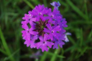 Flor roxa, pequena Foto gratuita