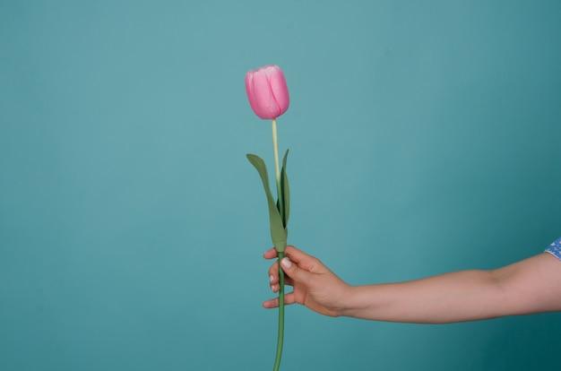 Flor tulipa na mão de uma mulher isolada em azul Foto Premium