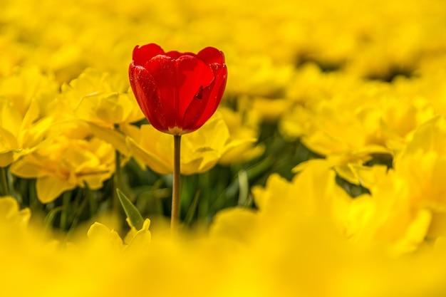Flor vermelha rodeada de flores amarelas durante o dia Foto gratuita
