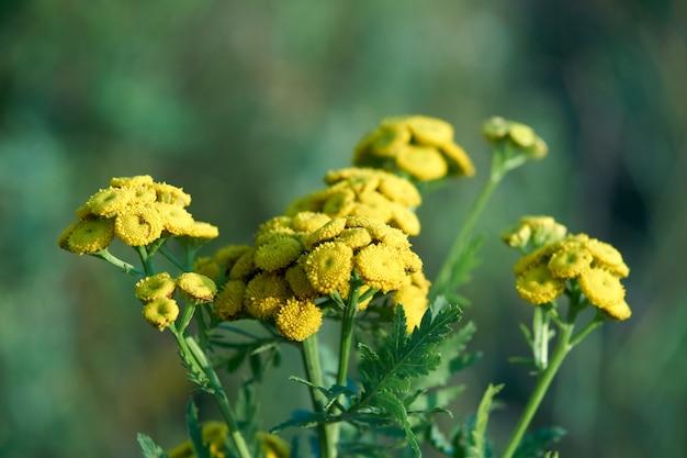 Floração tansy comum Foto Premium