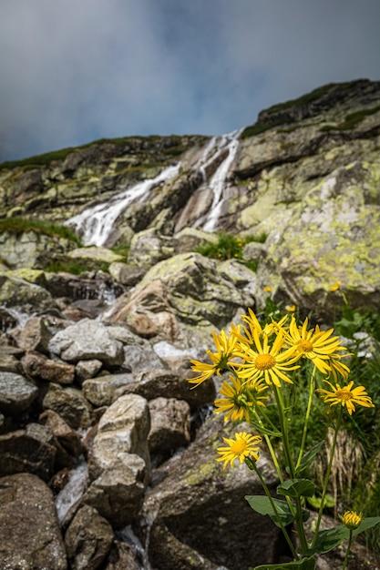Flores amarelas crescendo do solo em frente a uma cachoeira nas montanhas tatra, eslováquia Foto Premium