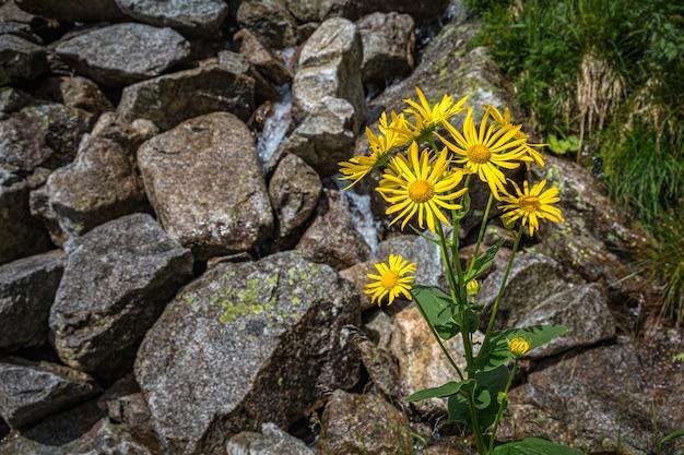 Flores amarelas crescendo do solo entre as rochas nas montanhas tatra, eslováquia Foto Premium