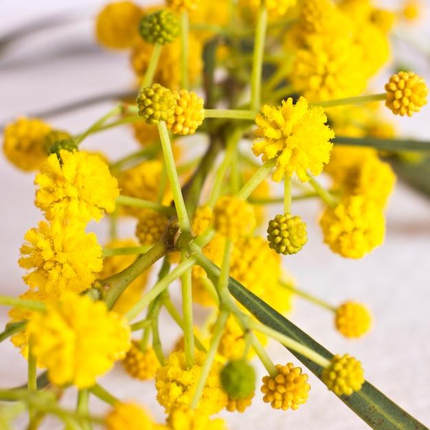 Flores amarelas da mola da mimosa. macro, foco seletivo Foto Premium