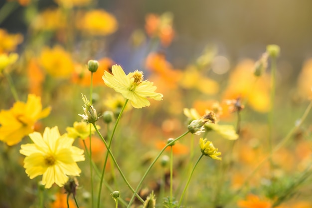 Flores amarelas de cosmos contra a luz do amanhecer Foto Premium