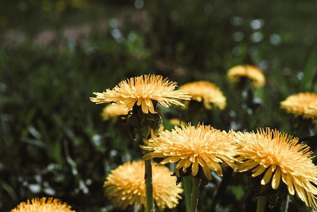 Flores amarelas do dente-de-leão - officinale do taraxacum. os dentes-de-leão colocam o fundo no dia ensolarado da mola. Foto Premium