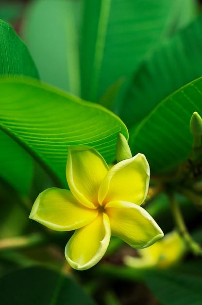 Flores amarelas do plumeria com fundo das folhas Foto Premium