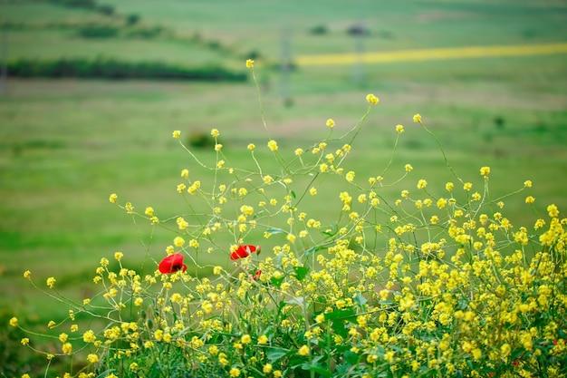 Flores amarelas e papoilas vermelhas no campo. Foto Premium
