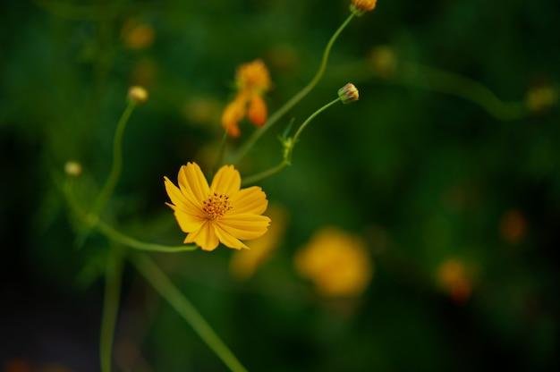 Flores amarelas em um belo jardim de flores, close-up com bokeh Foto Premium