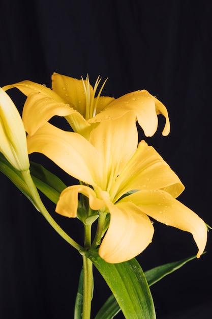 Flores amarelas frescas e folhagem verde no orvalho Foto gratuita