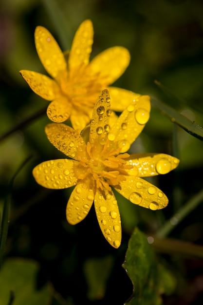 Flores amarelas na primavera no jardim e orvalho Foto Premium