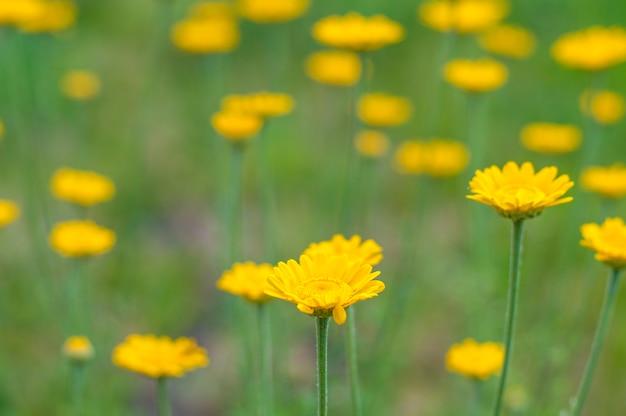 Flores amarelas sobre um fundo verde Foto Premium