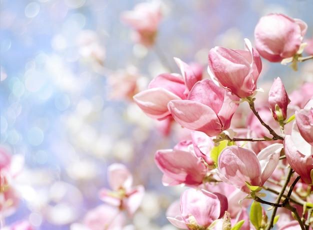 Flores bonitas da árvore da magnólia na primavera. Foto Premium