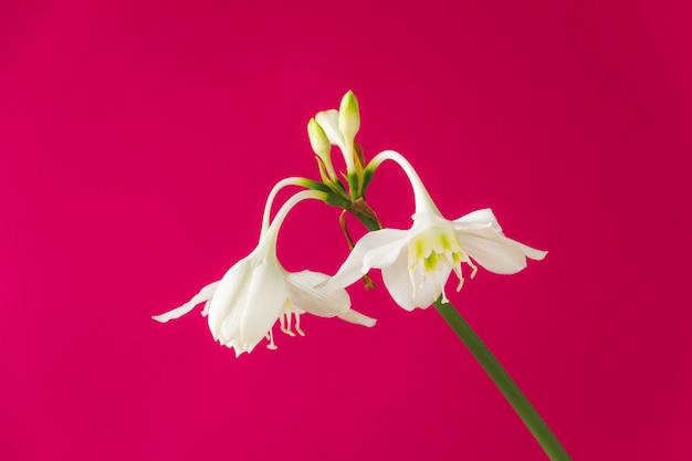 Flores brancas de eucharis amazonica (lírio da amazônia) em rosa Foto Premium