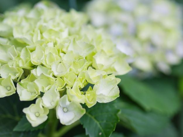 Flores brancas do centro das atenções de paniculata do hydrangea do creme macio do foco. Foto Premium