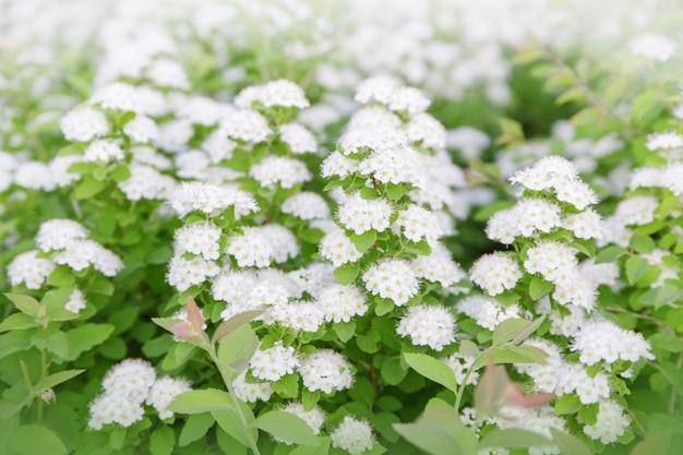 Flores brancas em galhos de árvores. Foto Premium