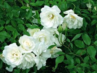 Flores brancas, flor Foto gratuita