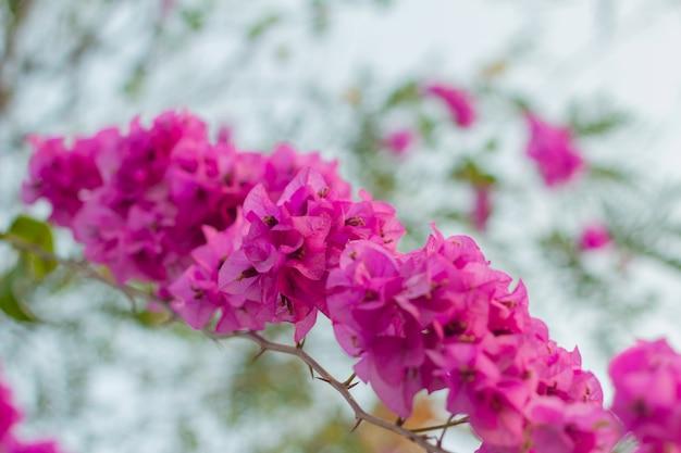 Flores buganvílias rosa Foto Premium