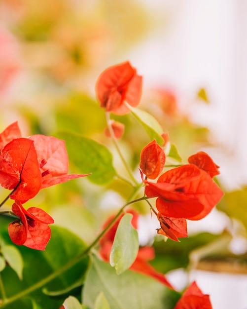 Flores buganvílias vermelhas contra o pano de fundo desfocado Foto gratuita