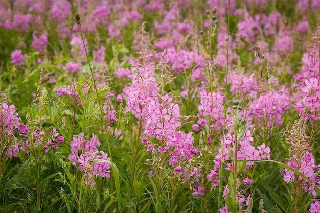 Flores cor-de-rosa da azaléia no chá de ivan da flor. salgueiro-erva de florescência ou sally de florescência. Foto Premium