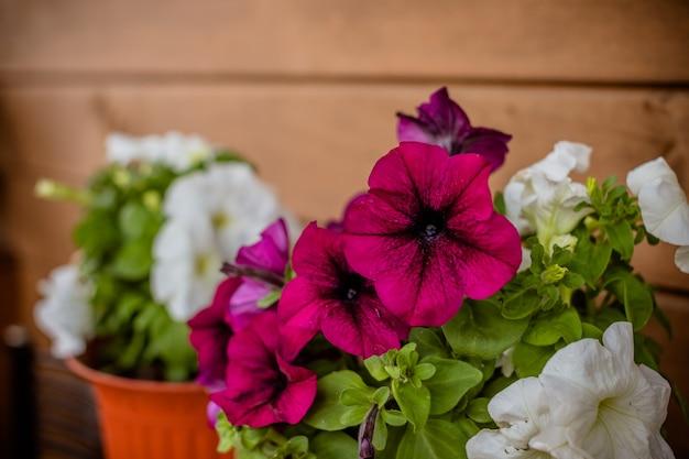 Flores cor de rosa e brancas. petúnia colorida, petunia hybrida no pote, decoração de varanda Foto Premium