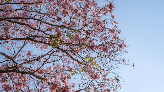 Flores cor de rosa (tabebuia rosea) nas filiais Foto Premium
