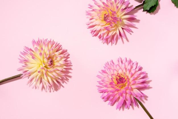 Flores dália em fundo rosa Foto Premium
