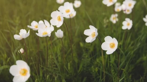 Flores de anêmona selvagem no campo. Foto Premium