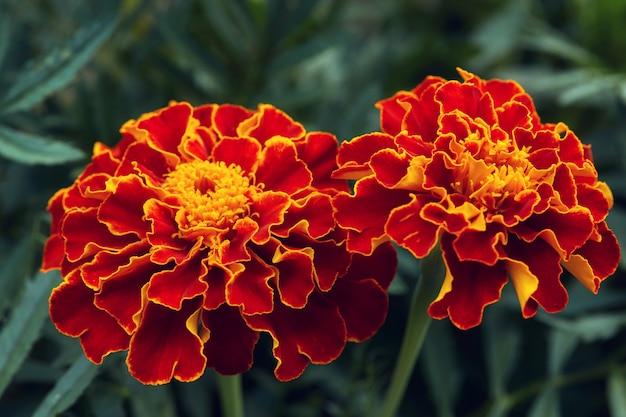 Flores de calêndula vermelhas e laranjas grandes no jardim Foto Premium