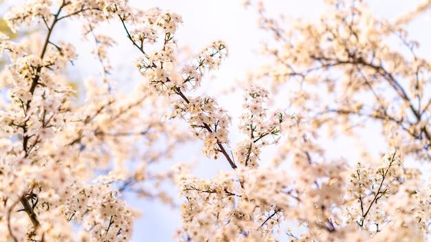Flores de cerejeira brancas desabrocham na primavera. Foto Premium