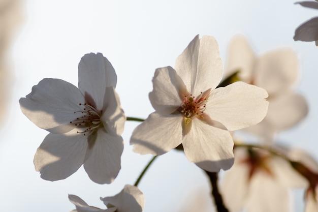 Flores de cerejeira brancas florescendo em uma árvore com fundo desfocado na primavera Foto gratuita
