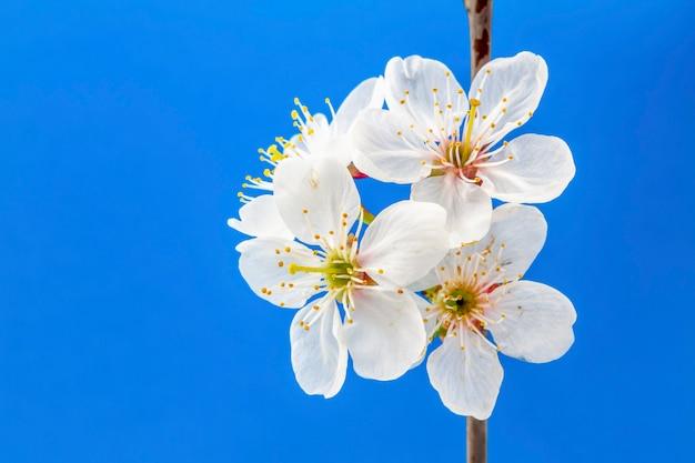Flores de cerejeira brancas sobre fundo azul Foto Premium