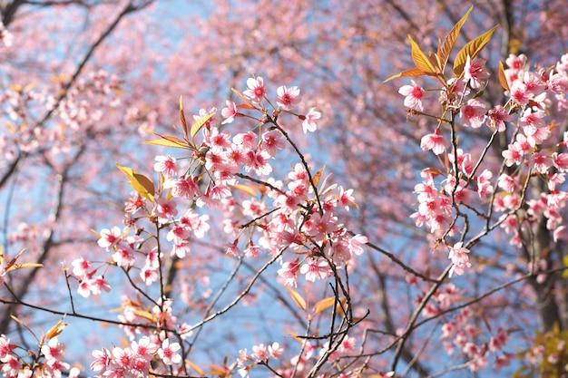 Flores de cerejeira do himalaia selvagem na primavera, prunus cerasoides, sakura sakura flor de fundo Foto Premium
