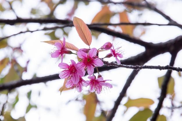 Flores de cerejeira, flores de sakura na natureza Foto Premium
