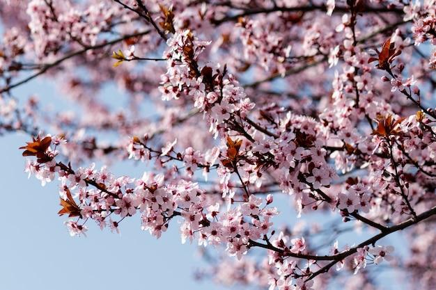 Flores de cerejeira rosa desabrochando em uma árvore com manchas na primavera Foto gratuita