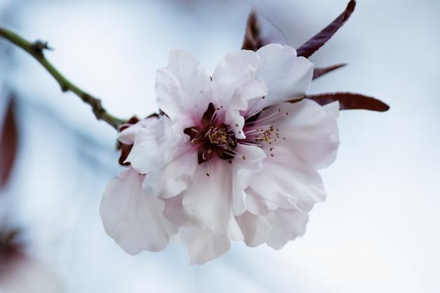 Flores de cerejeira rosa florescendo em uma árvore Foto gratuita